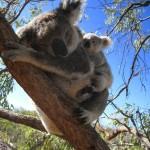 Koalabär mit Baby