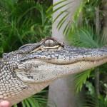 Krokodil am Eingang
