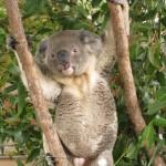 Chillender Koala