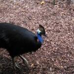 Cassowary im Zoo