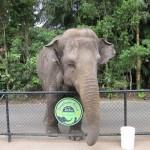 Elefant bei der Fütterung