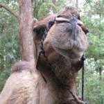 Chilliges Kamel