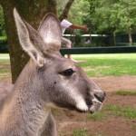 Kangaroo ganz nah