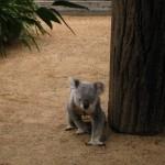 Koala auf seinem Weg