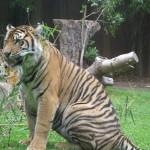 hächelnder Tiger
