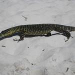Goanna Leguan Fraser Island