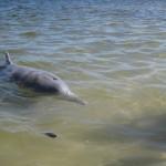 Wilder Delfin