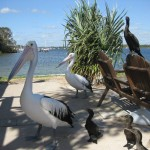 Riesige Pelikane