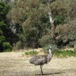 Emu auf dem Campingplatz