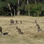 Kangaroo-Familie