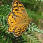 Schmetterling bei Zumstein
