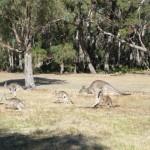 Kangaroos am Campingplatz