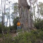 Riesiger Baum, Lake St. Clair