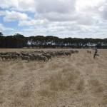 Schafe jagen ...
