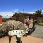 Emu beim Mittagessen